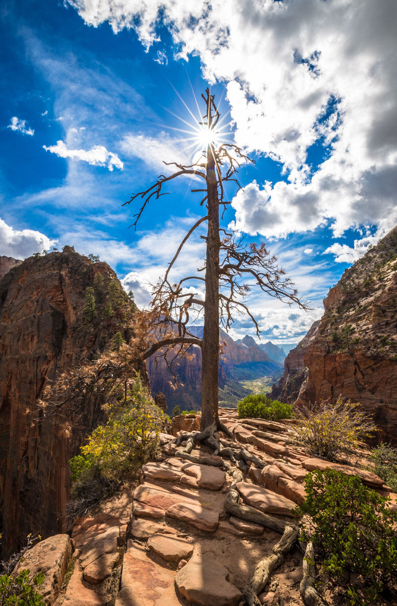angels landing tree