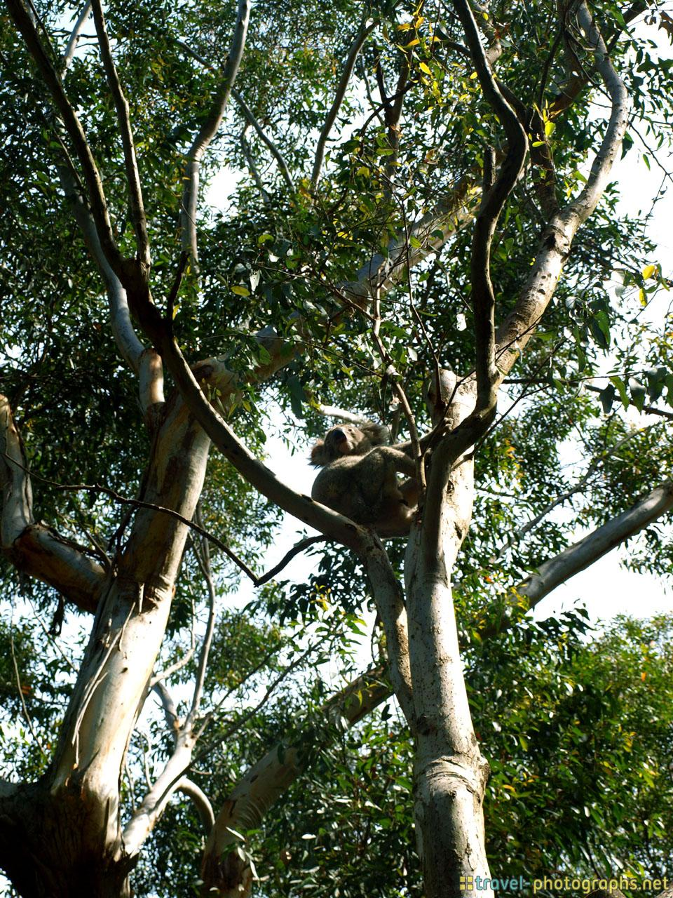 austrlalia-photos-koala-bear-on-tree