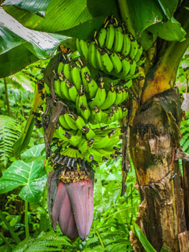 green banana tree during hike on saba photos