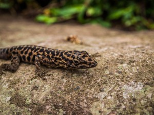 lizard in rain forest of saba during hike